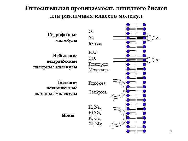 Относительная проницаемость липидного бислоя для различных классов молекул Гидрофобные молекулы Небольшие незаряженные полярные молекулы