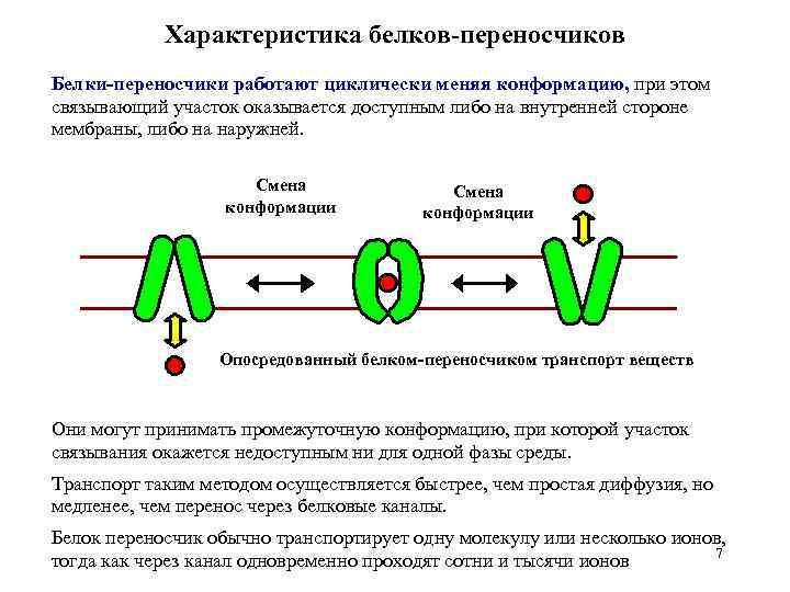 Характеристика белков-переносчиков Белки-переносчики работают циклически меняя конформацию, при этом связывающий участок оказывается доступным либо