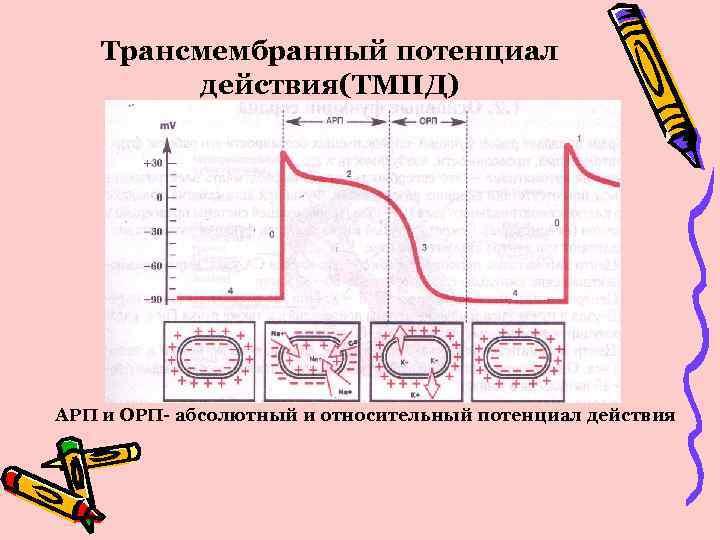 Трансмембранный потенциал действия(ТМПД) АРП и ОРП- абсолютный и относительный потенциал действия