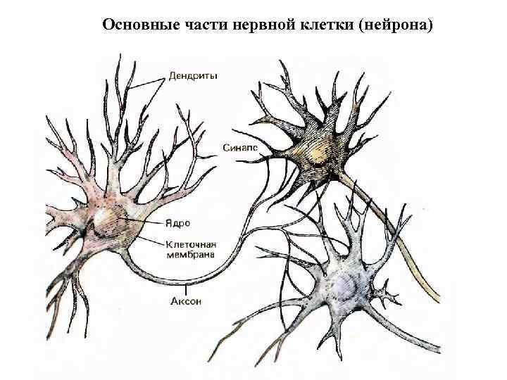 Основные части нервной клетки (нейрона)