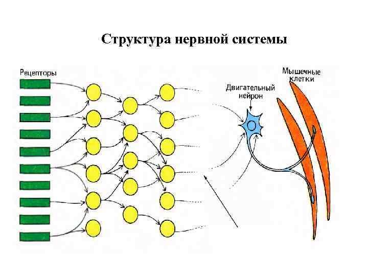 Структура нервной системы