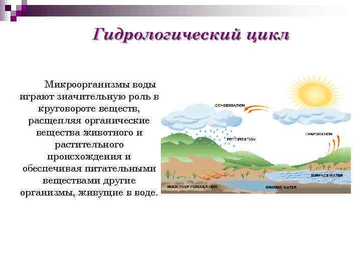Гидрологический цикл Микроорганизмы воды играют значительную роль в круговороте веществ, расщепляя органические вещества животного