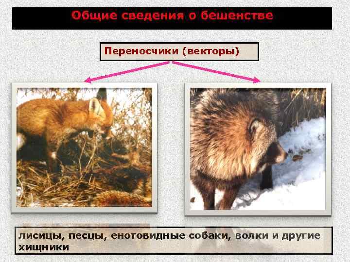 Общие сведения о бешенстве Переносчики (векторы) лисицы, песцы, енотовидные собаки, волки и другие хищники