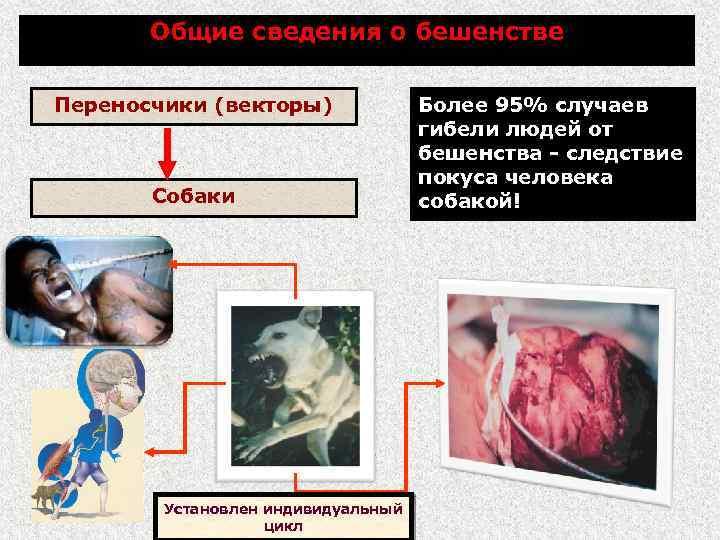 Общие сведения о бешенстве Переносчики (векторы) Собаки Установлен индивидуальный цикл Более 95% случаев гибели