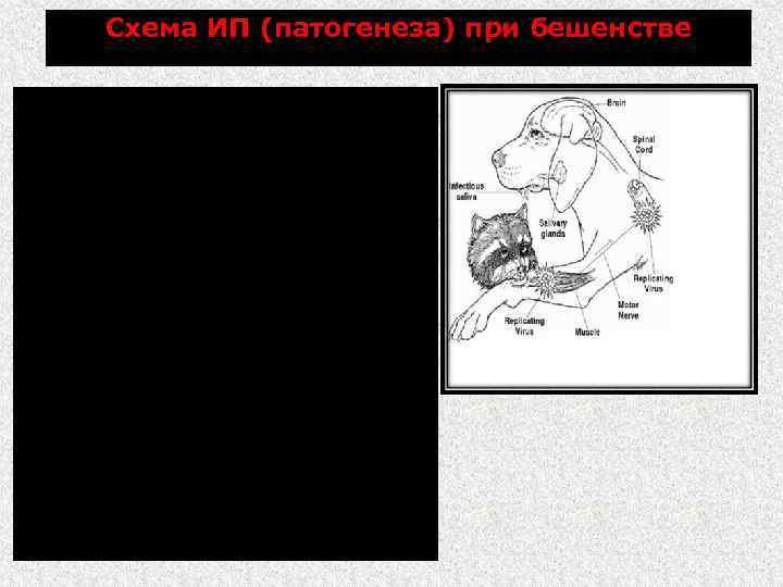 Схема ИП (патогенеза) при бешенстве Развитие ИП зависит от дозы вируса, его вирулентности и