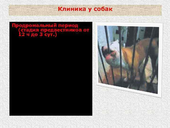 Клиника у собак Продромальный период (стадия предвестников от 12 ч до 3 сут. )