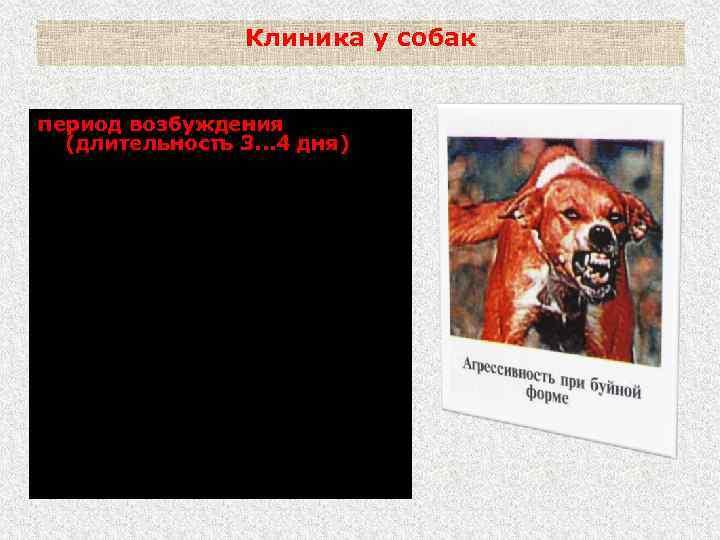Клиника у собак период возбуждения (длительность 3. . . 4 дня) - нарастает агрессивность;