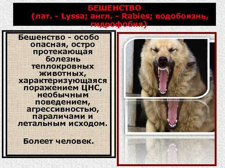 БЕШЕНСТВО (лат. - Lyssa; англ. - Rabies; водобоязнь, гидрофобия) Бешенство - особо опасная, остро