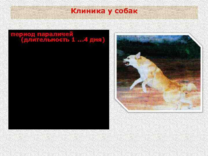Клиника у собак период параличей (длительность 1. . . 4 дня) Паралич задних конечностей,