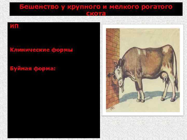Бешенство у крупного и мелкого рогатого скота ИП более 2 мес (часто от 15
