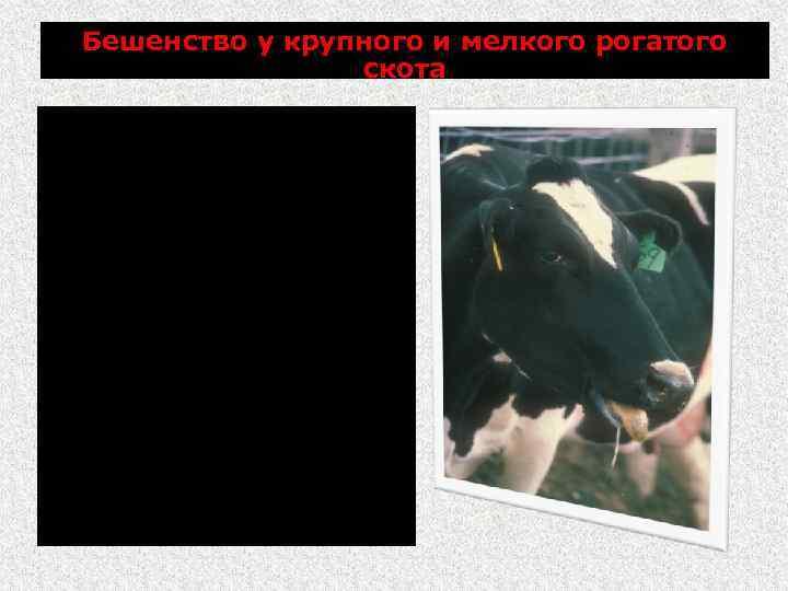 Бешенство у крупного и мелкого рогатого скота агрессивность особенно выражена по отношению к собакам