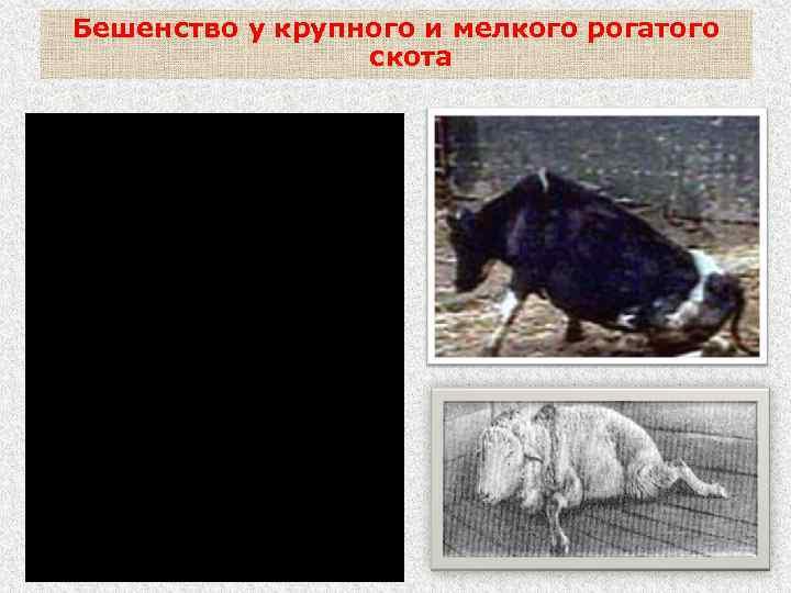 Бешенство у крупного и мелкого рогатого скота - параличи мышц глотки (невозможность глотания), нижней