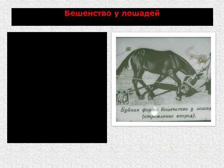 Бешенство у лошадей Агрессивность к животным и к людям; в возбуждении бросаются на стену,
