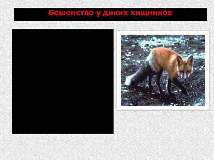 Бешенство у диких хищников У лисиц необычное поведение: теряют чувство страха перед человеком, забредают