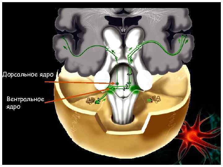 Дорсальное ядро Вентральное ядро