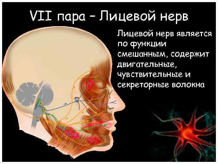 VII пара – Лицевой нерв является по функции смешанным, содержит двигательные, чувствительные и секреторные
