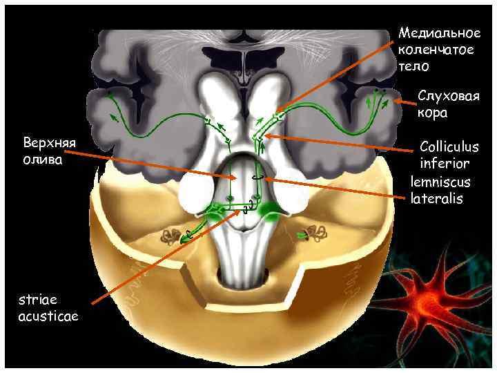 Медиальное коленчатое тело Слуховая кора Верхняя олива striae acusticae Colliculus inferior lemniscus lateralis