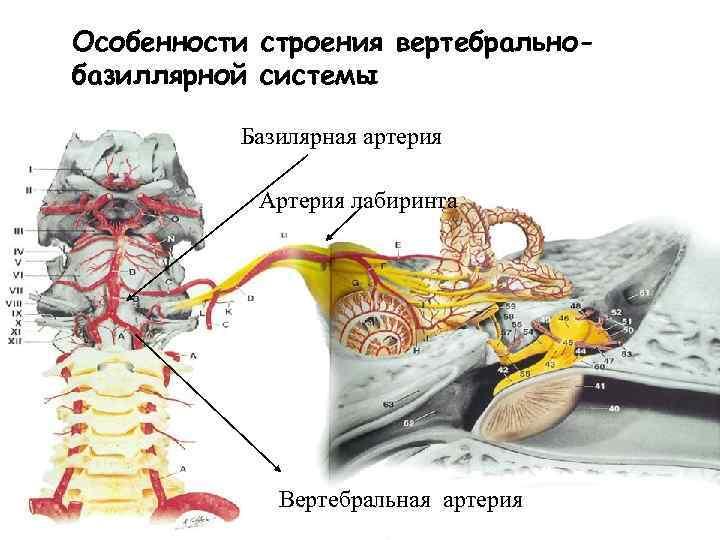 Особенности строения вертебральнобазиллярной системы Базилярная артерия Артерия лабиринта Вертебральная артерия