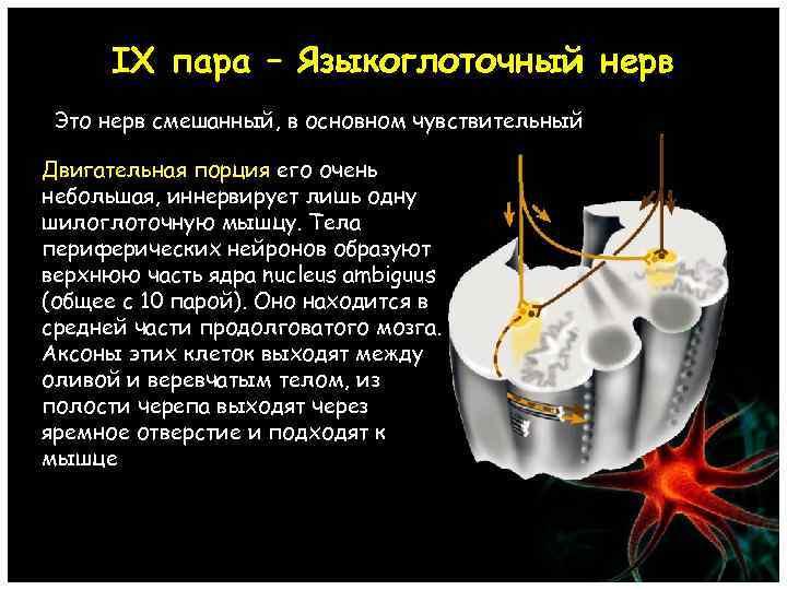 IX пара – Языкоглоточный нерв Это нерв смешанный, в основном чувствительный Двигательная порция его
