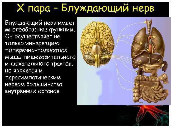 X пара – Блуждающий нерв имеет многообразные функции. Он осуществляет не только иннервацию поперечно-полосатых