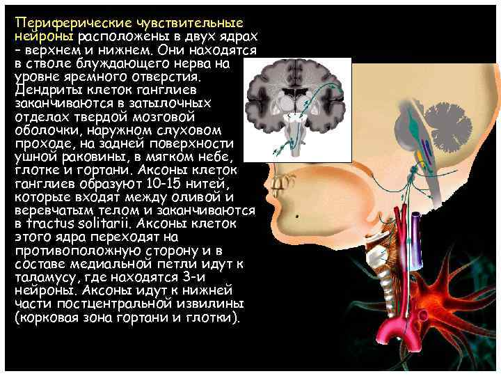Периферические чувствительные нейроны расположены в двух ядрах – верхнем и нижнем. Они находятся в