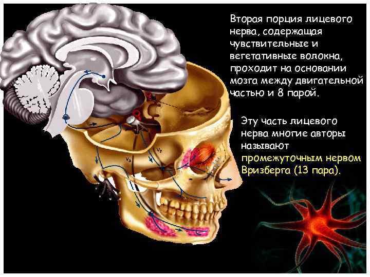Вторая порция лицевого нерва, содержащая чувствительные и вегетативные волокна, проходит на основании мозга между