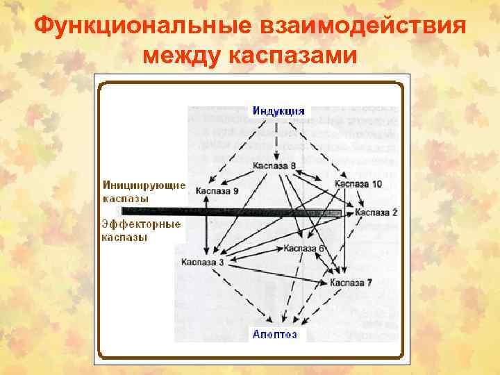 Функциональные взаимодействия между каспазами