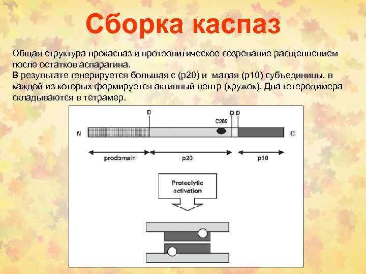 Сборка каспаз Общая структура прокаспаз и протеолитическое созревание расщеплением после остатков аспарагина. В результате