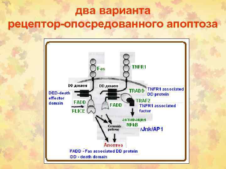 два варианта рецептор-опосредованного апоптоза