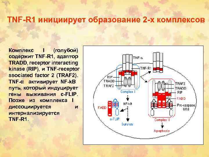 TNF-R 1 инициирует образование 2 -х комплексов Комплекс I (голубой) содержит TNF-R 1, адаптор