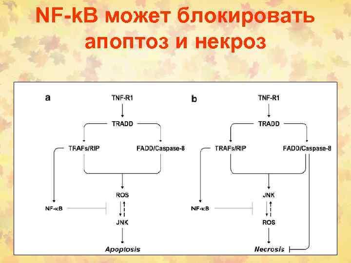 NF-k. B может блокировать апоптоз и некроз