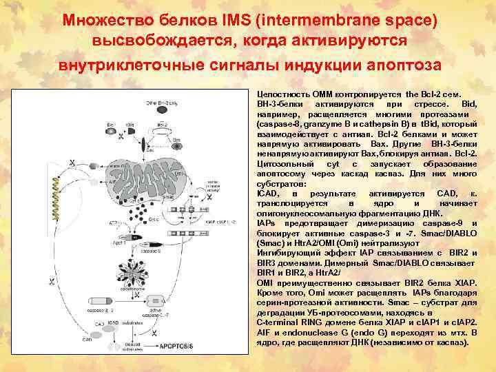 Множество белков IMS (intermembrane space) высвобождается, когда активируются внутриклеточные сигналы индукции апоптоза Целостность OMM