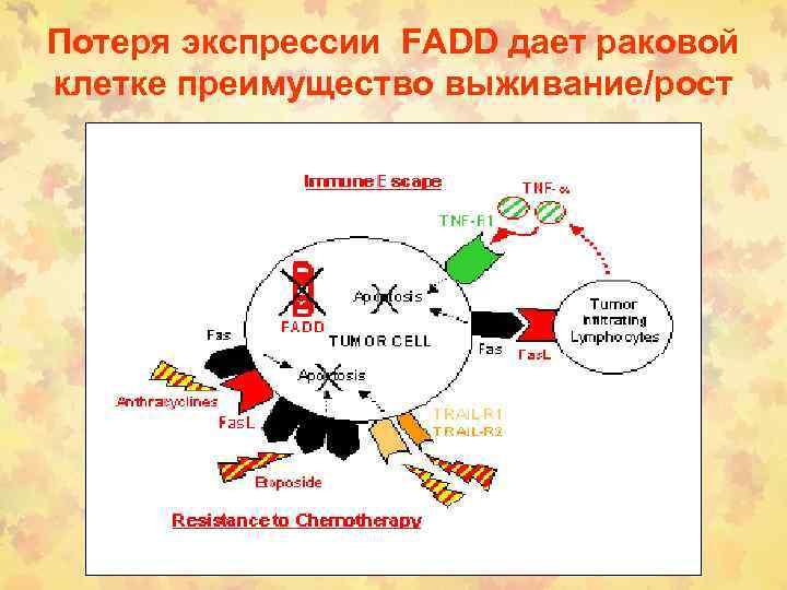 Потеря экспрессии FADD дает раковой клетке преимущество выживание/рост