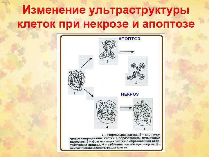 Изменение ультраструктуры клеток при некрозе и апоптозе