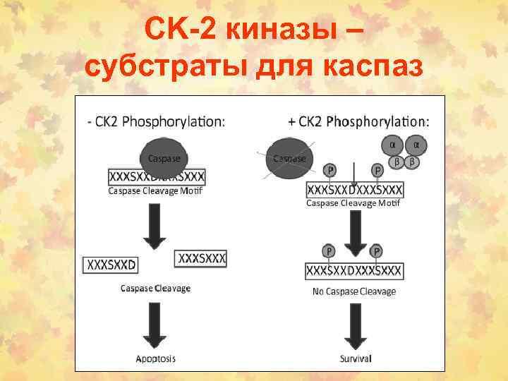 CK-2 киназы – субстраты для каспаз