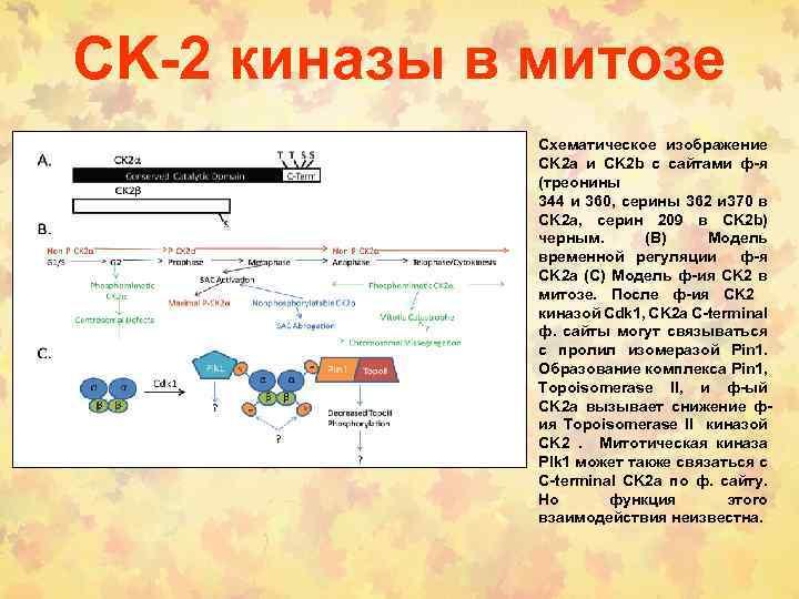 CK-2 киназы в митозе Схематическое изображение CK 2 a и CK 2 b с