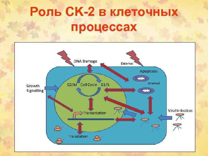 Роль CK-2 в клеточных процессах