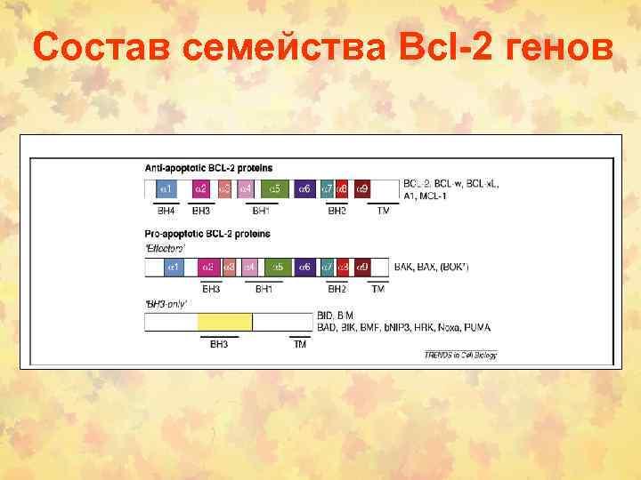 Состав семейства Bcl-2 генов