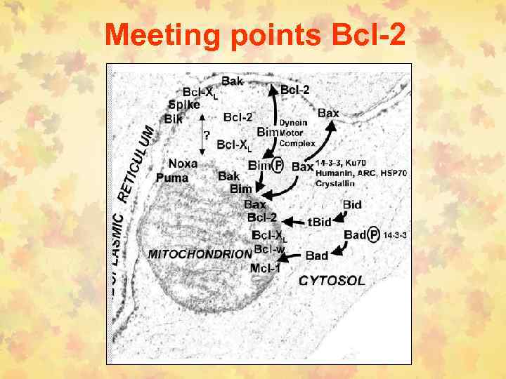 Meeting points Bcl-2