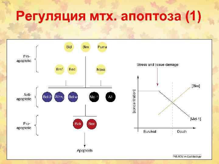 Регуляция мтх. апоптоза (1)