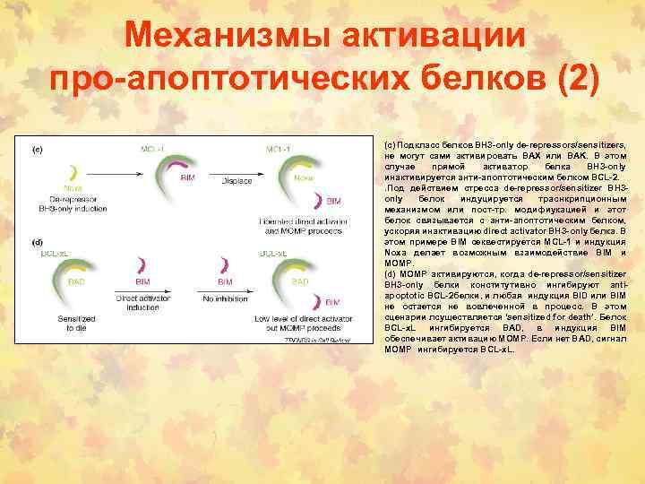 Механизмы активации про-апоптотических белков (2) (c) Подкласс белков BH 3 -only de-repressors/sensitizers, не могут