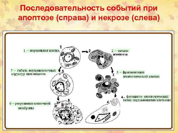 Последовательность событий при апоптозе (справа) и некрозе (слева)
