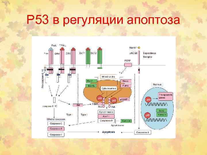 Р 53 в регуляции апоптоза
