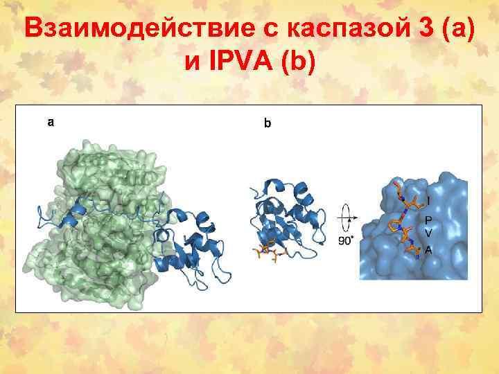 Взаимодействие с каспазой 3 (а) и IPVA (b)