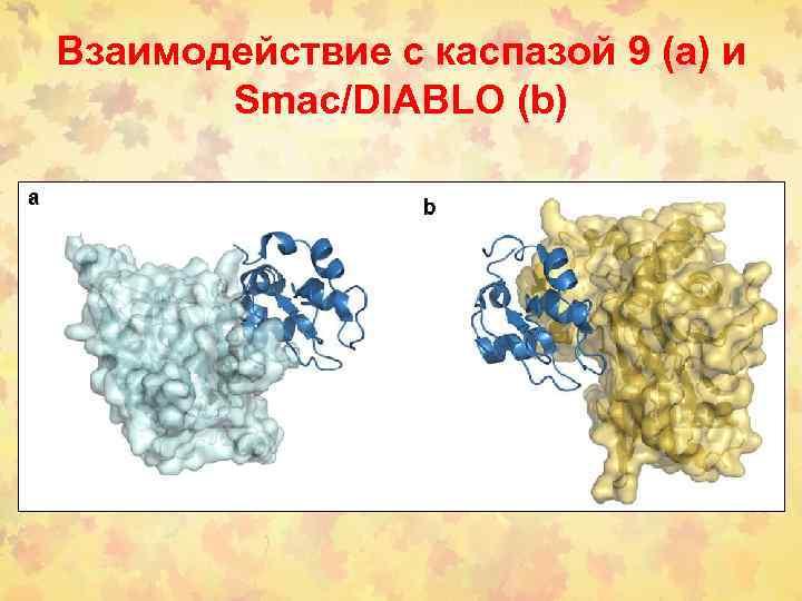 Взаимодействие с каспазой 9 (а) и Smac/DIABLO (b)