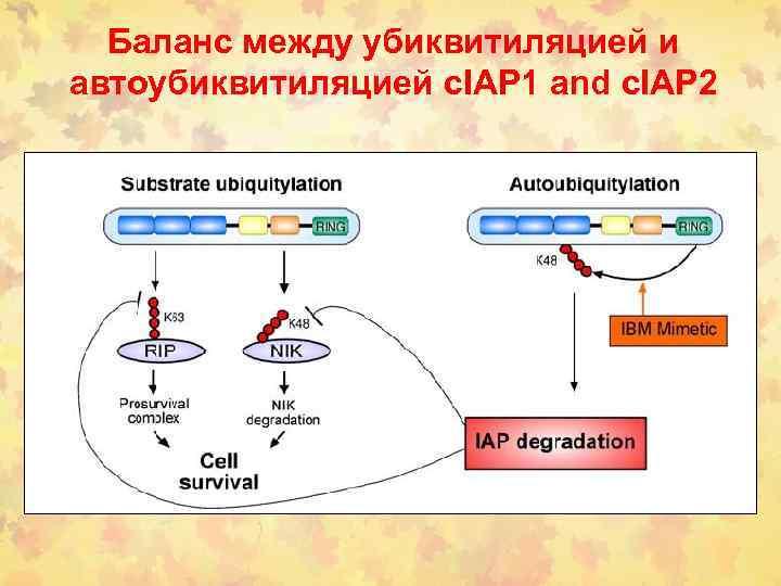Баланс между убиквитиляцией и автоубиквитиляцией c. IAP 1 and c. IAP 2