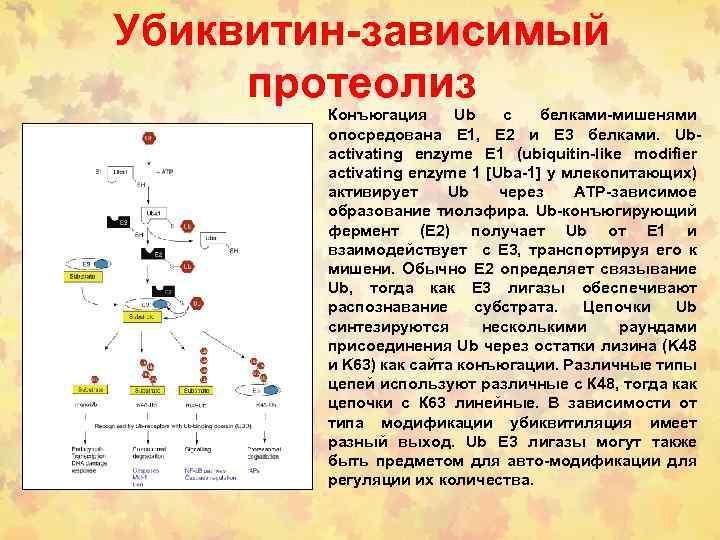 Убиквитин-зависимый протеолиз Конъюгация Ub с белками-мишенями опосредована E 1, E 2 и E 3