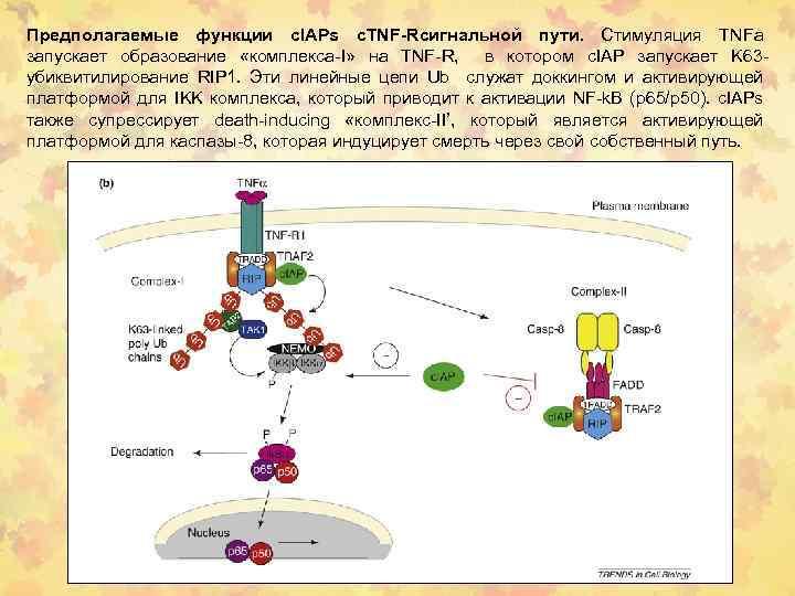 Предполагаемые функции c. IAPs с. TNF-Rсигнальной пути. Стимуляция TNFa запускает образование «комплекса-I» на TNF-R,