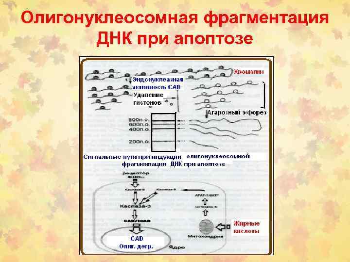Олигонуклеосомная фрагментация ДНК при апоптозе