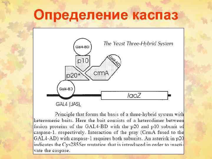 Определение каспаз